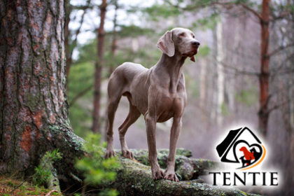 Tentie - © DragoNika - Fotolia.com - dog forest