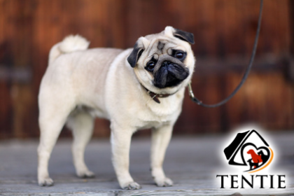 Tentie - © kichigin19 - Fotolia.com - dog shy